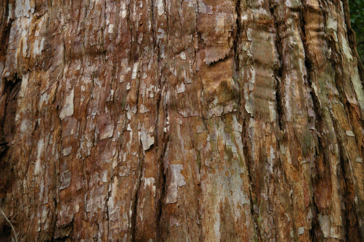 Eucalyptus microcorys mature bark