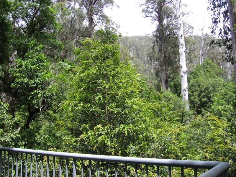 Mt Donna Buang on the board walk regenerating Nothofagus moorei