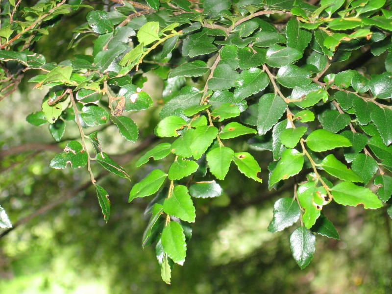 Nothofagus cunninghamii leaves